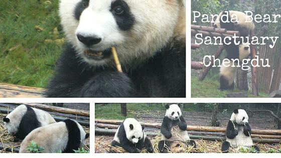 Panda Bear Sanctuary – My Experience in China 13