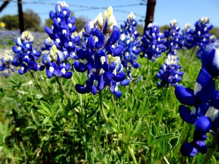 Texas Wildflowers Bluebonnets