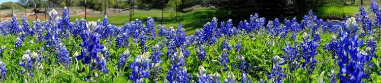 Texas Wildflowers Bluebonnets 4