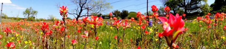 Texas Wildflowers Indian Paintbrushes