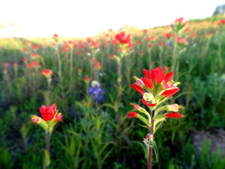 Texas Wild Flowers Inidan Paint Brush