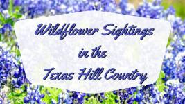 Texas Wildflowers: Bluebonnet Sightings in the Texas Hill Country