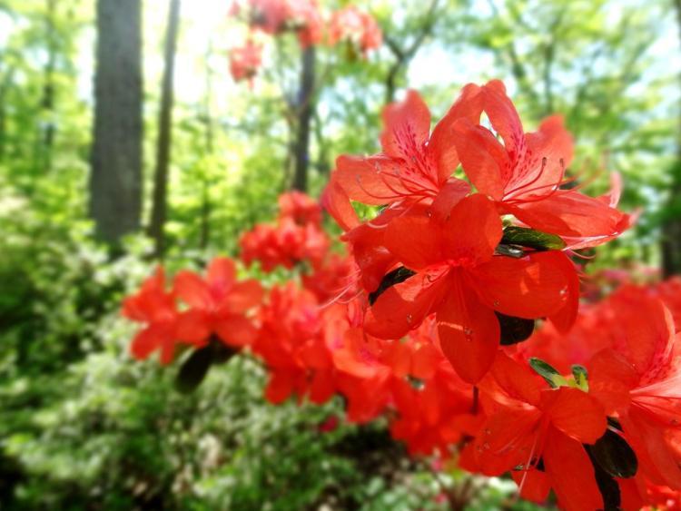 Arboretum Washington DC Azalea Bloom