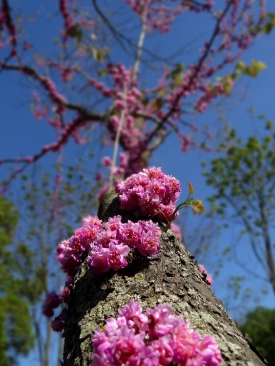 Arboretum Washington DC - Tree with purple Flowers coming out of stem and branches
