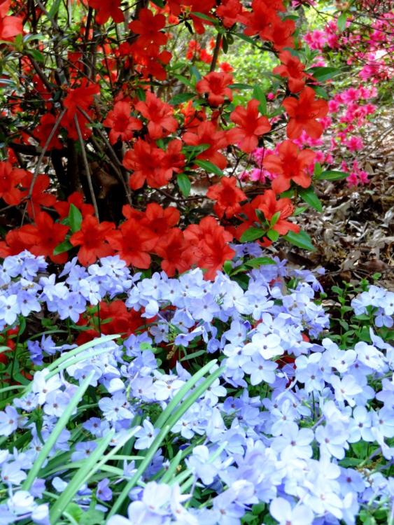 Red Azaleas at the Arboretum in Washington DC