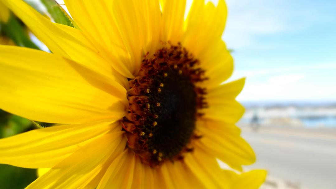Santa Cruz: Beach Town & Sunflowers